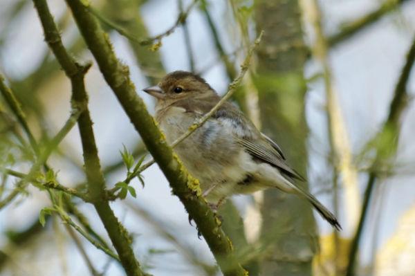 bebe pinson des arbre Parc Paris - Common Chaffinch