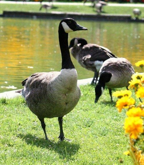 Bernache du canada parc Floral Paris Vincennes