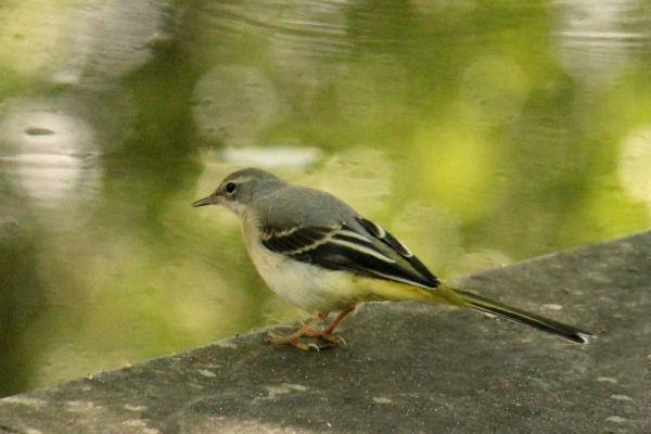 bergeronnette des ruisseaux wagtail parc de bercy paris