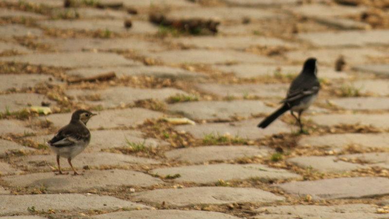 bergeronnette grise wagtail parc de bercy Paris