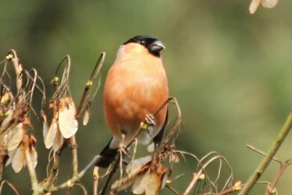 Bouvreuil pivoine Paris parc Floral - Eurasian Bullfinch