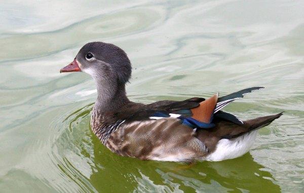 canard mandarin parc floral paris vincennes mandarin duck