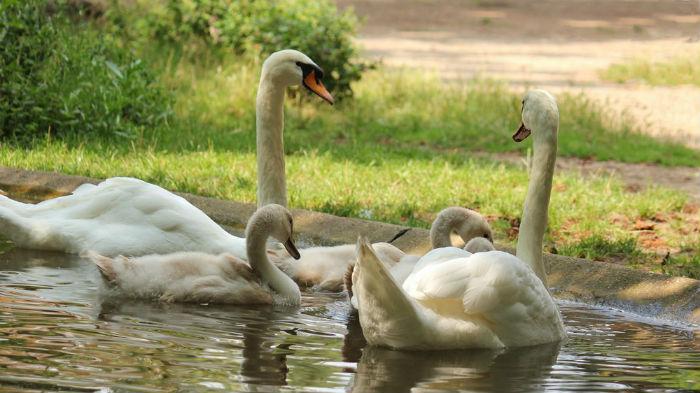 Cygne cygneaux tuberculé Mute Swan lac des Minimes Vincennes Paris