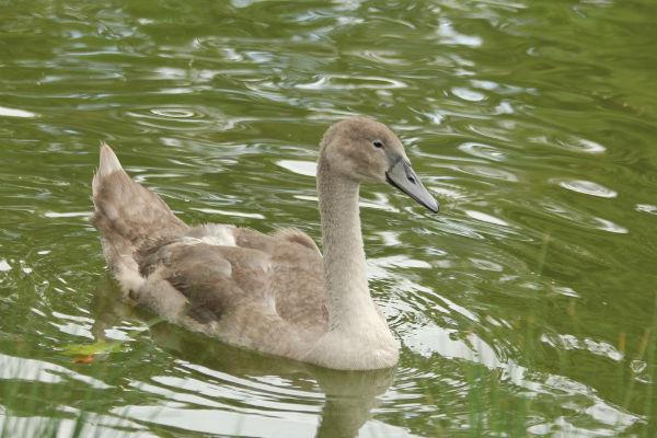 Cygne cygneaux tuberculé blanc lac daumesnil bois de Vincennes swan white