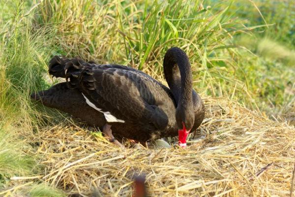 cygneau cygne noir au parc Montsouris Paris 2017 - black swan