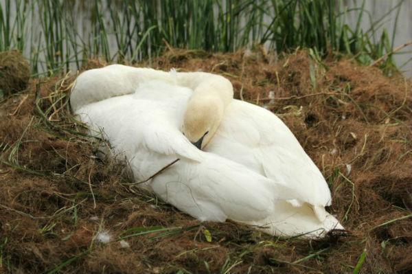 Cygne cygneaux tuberculé blanc lac daumesnil bois de Vincennes 75 Paris swan white