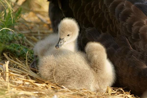 cygneau cygne noir au parc Montsouris Paris - black swan