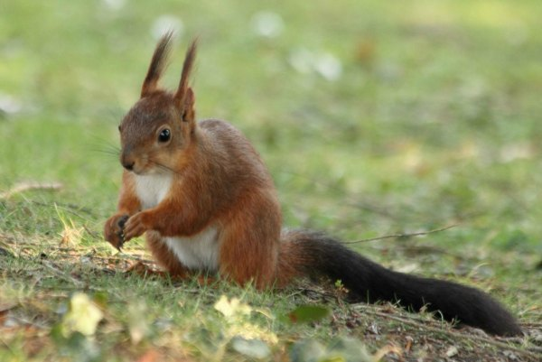 ecureuil-roux-paris-jardin d`acclimatation red-squirrel