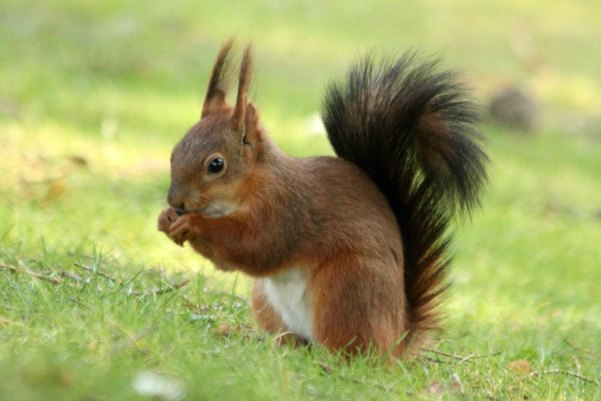 ecureuil roux Paris red squirrel jardin d`acclimatation