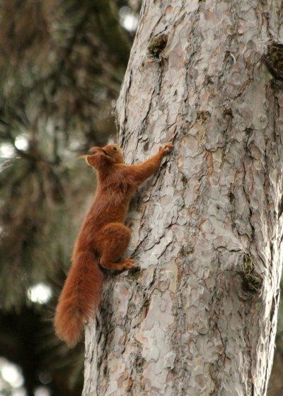 ecureuil roux red squirrel parc floral paris vincennes libre parc noisette mammifere mammal agile