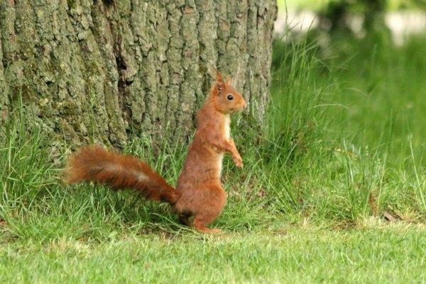 ecureuil roux red squirrel parc floral paris vincennes mammifere mammal libre arbre pin agile foret parc jardin