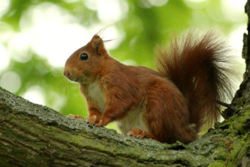 ecureuil roux red squirrel parc floral vincennes Paris animal libre pin agile parc mammifere mammal