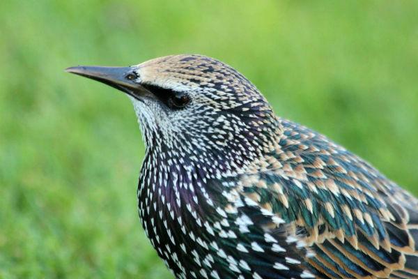 etourneau sansonnet parc de Bercy Paris - starling
