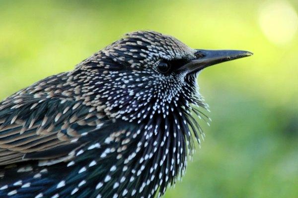 etourneau sansonnet jardin des tuilleries Paris - starling