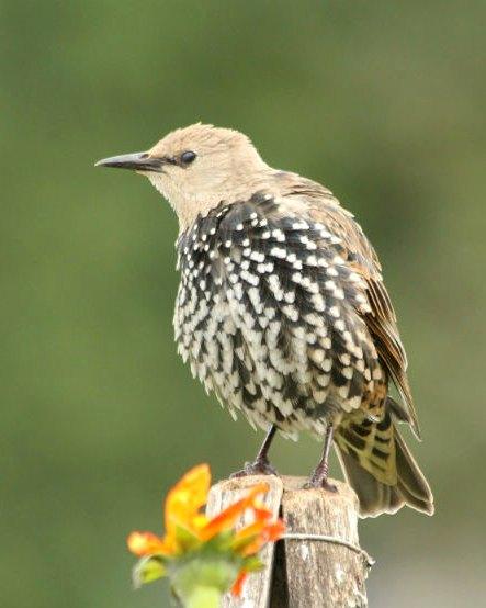 etourneau sansonnet parc de bercy paris starling jardin tuillerie oiseaux bird plume libre