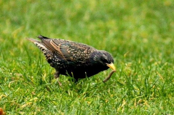 etourneau sansonnet starling paris oiseaux bird plume nid couvée