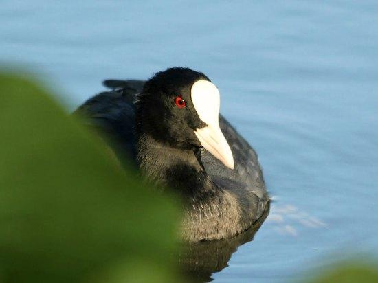 Foulque macroule coot Paris Parc floral vincennes bird oiseaux libre