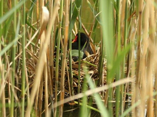 gallinule poule d eau moorhen paris parc bercy oiseaux bird plume bec jaune rouge