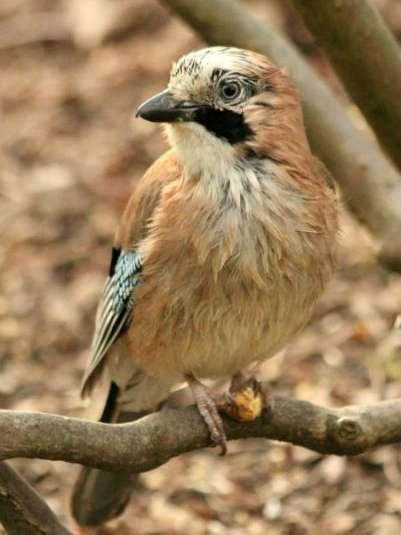 geai des chenes parc de bercy Paris jay oiseaux bird plume parc parisien