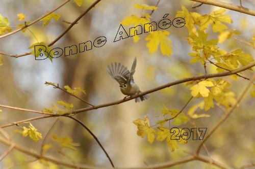 bonne année 2017 roitelet huppée parc de Sceaux
