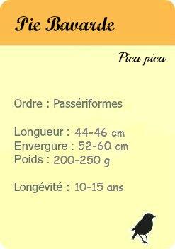 informations - Geai des chenes - Eurasian Jay - les oiseaux de Paris
