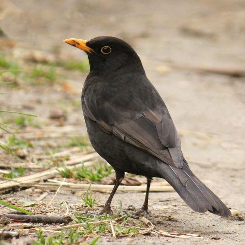 merle noir male au parc de bercy paris blackbird