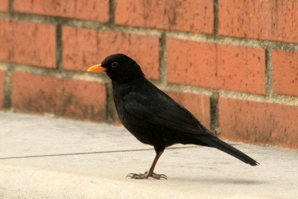 merle noir au parc de bercy paris blackbird bird oiseaux