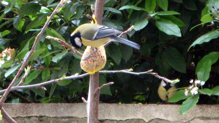 mesange charbonniere jardin Paris bird oiseaux