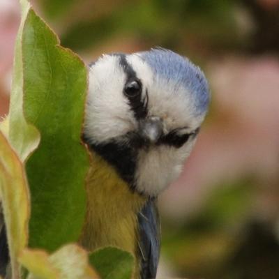 mesange bleue à Paris dans les jardins parcs - blue tit - bird oiseaux passereaux