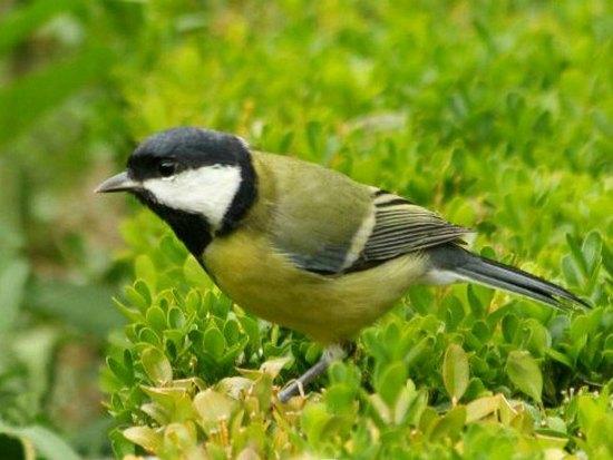 mesange charbonniere great tit parc de bercy Paris jardin bird oiseaux passereaux libre jaune noir blanc