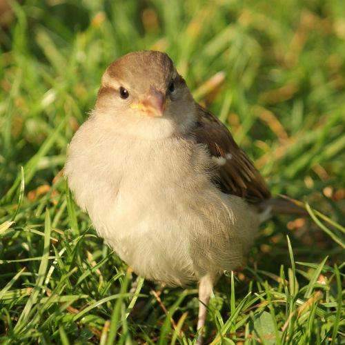 moineau domestique parc de Bercy Paris sparrows