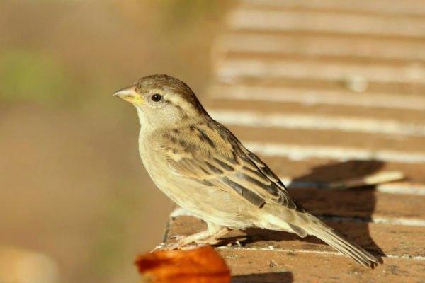 moineau domestique house sparrows paris parc de bercy plume oiseauc bird nid couple male femelle couvée