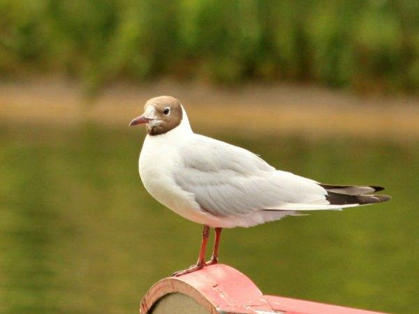 Mouette rieuse lac daumesnil Vincennes oiseaux bird