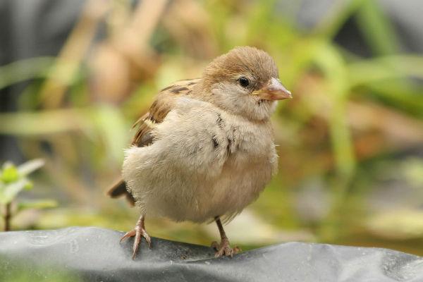 oisillon moineau domestique au parc Bercy à Paris - House Sparrow