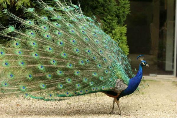 paon bleu parc Floral vincennes Paris peacock blue
