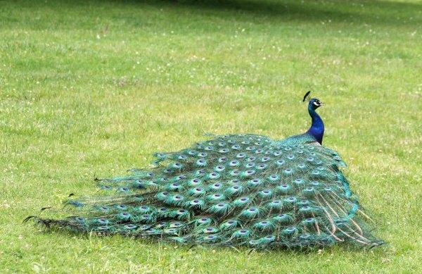 Paon bleu fait roue lac de daumesnil bois de Vincennes 75 Paris peacocock whell peahen paonne paonneaux ile de bercy