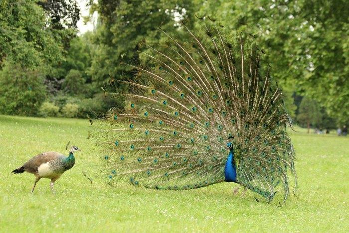 paon bleu peacock Vincennes Paris lac daumesnil ile de bercy paon roue bird oiseaux