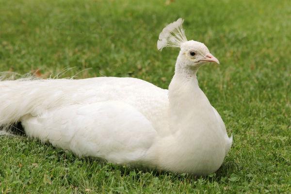 photo d 39 un paon blanc au jardin d 39 acclimatation paris neuilly white peacock. Black Bedroom Furniture Sets. Home Design Ideas