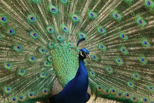 photos de paon bleu au parc floral paris vincennes peacock. Black Bedroom Furniture Sets. Home Design Ideas