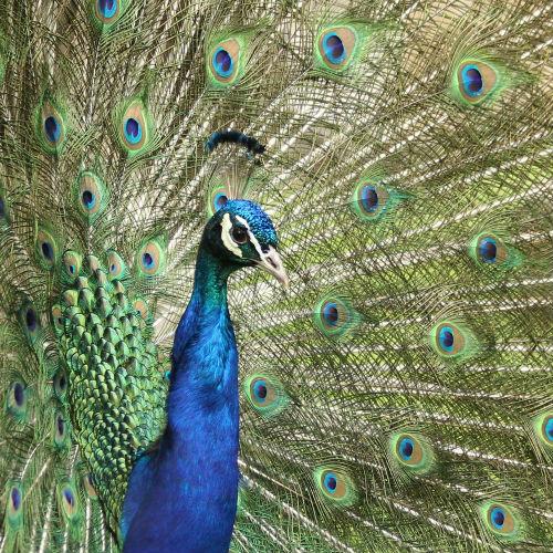 Photos Paonne Paonneaux Jardin D 39 Acclimatation Paris Peacock