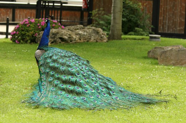 Photos paon bleu jardin d 39 acclimatation paris blue peacock - Restaurant jardin d acclimatation neuilly ...