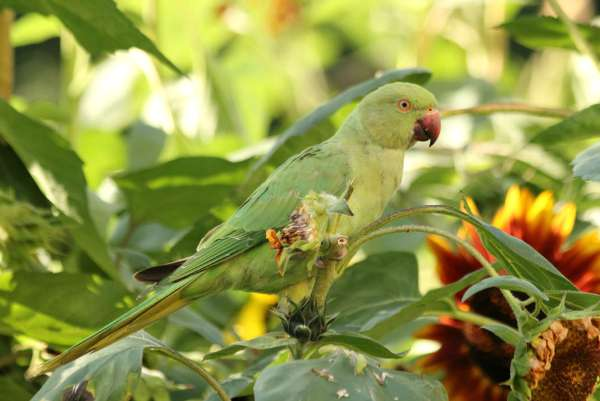 perruche à collier a Paris au jardin des plantes - rose-ringed Parakeet