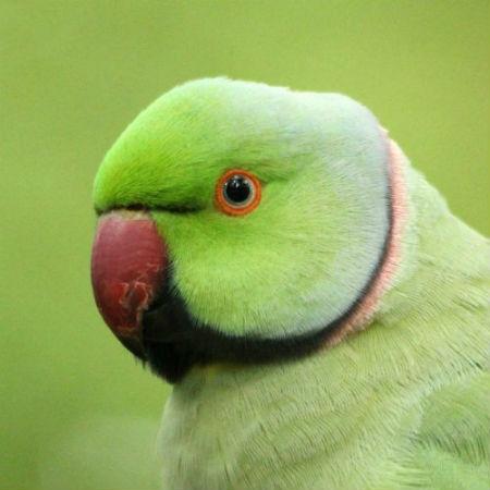 perruche à collier a Paris au parc de sceaux - rose-ringed Parakeet