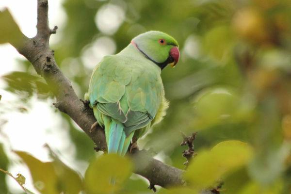 perruche à collier a Paris au parc Floral - rose-ringed Parakeet