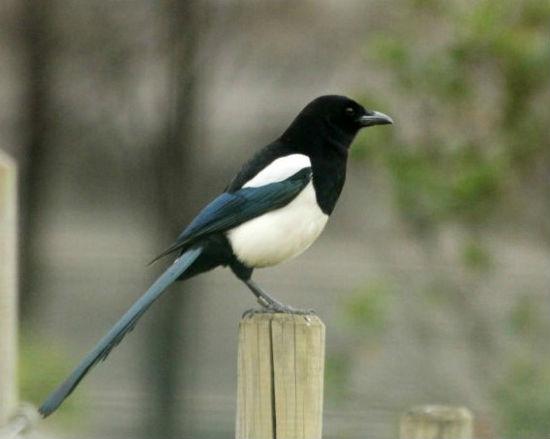 pie bavarde parc de bercy Paris magpie oiseaux bird plume parc parisien