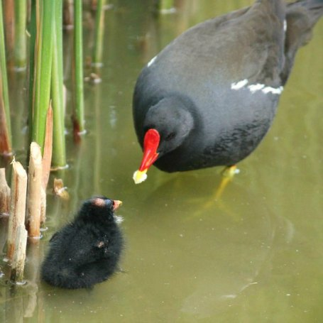 photos de poule d 39 eau au parc de bercy paris moorhen. Black Bedroom Furniture Sets. Home Design Ideas