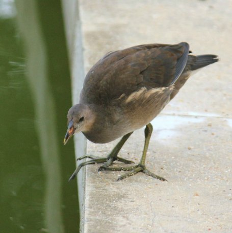 gallinule poule d`eau parc de bercy Paris moorhen