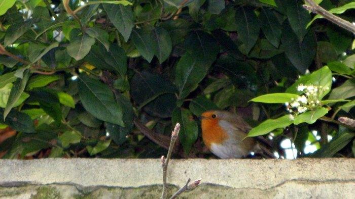 rouge gorge familier jardin paris robin